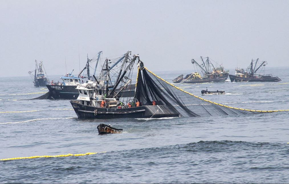 Peru anchovy catch to increase 30% in 2015