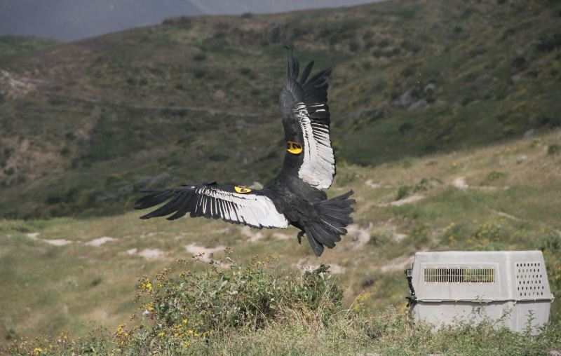 Two years after rescue, Andean condors freed near Lima