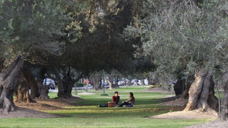 San Isidro to save at-risk olive trees in Parque El Olivar