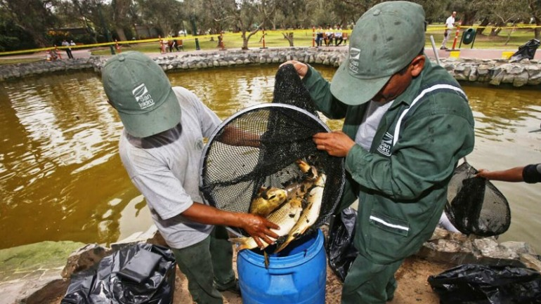 Hundreds of fish poisoned in upscale Lima park