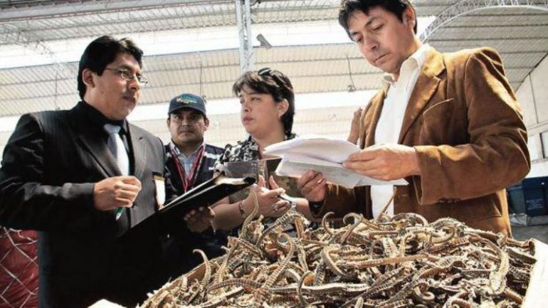 Peru: 8 million seahorses seized in Lima port