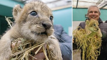 Peru: lion cub born at Lima zoo for first time in 20 years