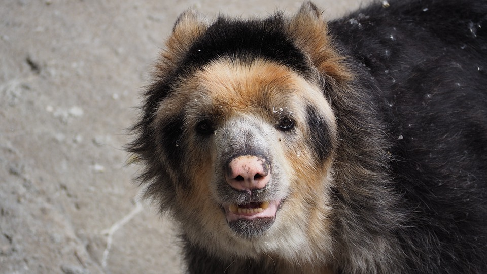 The endangered spectacled bear of the Peruvian Andes
