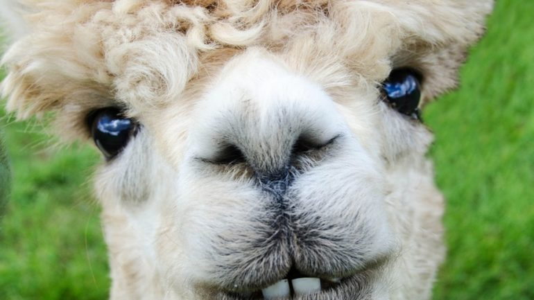 Peru will be the first country in the world to clone Alpacas