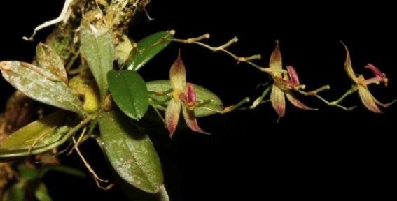 peru orchid