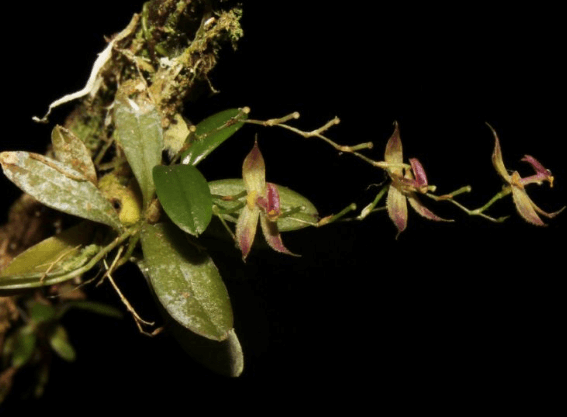 Researchers find new species of orchid in Peru